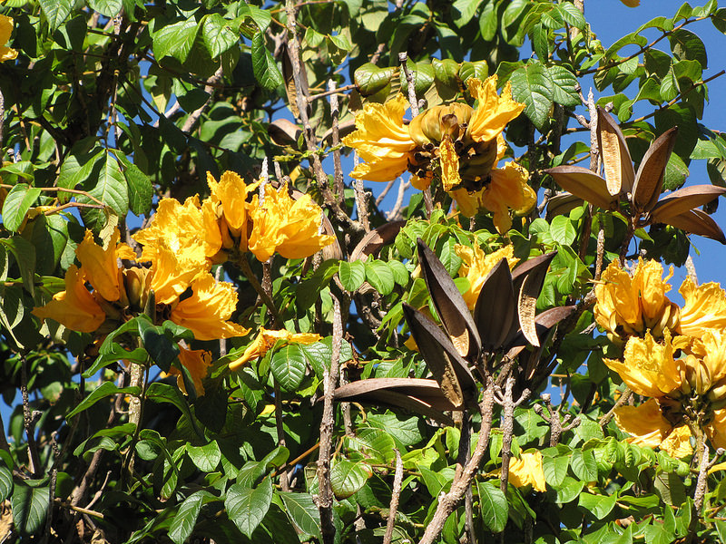 African tulip tree spathodea campanulata the recessive gene that makes yellow flowers is not often expressed the seed capsules are spent after the mightylinksfo